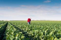 Agricoltore nei giacimenti della soia Fotografie Stock