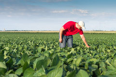 Agricoltore nei giacimenti della soia Immagine Stock Libera da Diritti