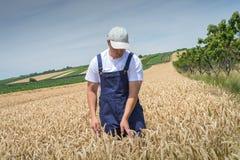 Agricoltore nei giacimenti di grano Fotografia Stock Libera da Diritti