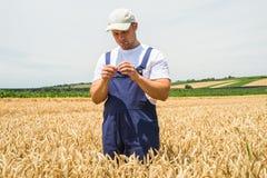 Agricoltore nei giacimenti di grano Immagine Stock
