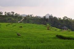 Agricoltore nei terrazzi fatti un passo del riso, Java, Indonesia Immagine Stock Libera da Diritti