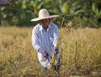Agricoltore nel campo è tempo di raccolto Immagine Stock Libera da Diritti