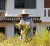 Agricoltore nel campo è tempo di raccolto Fotografia Stock
