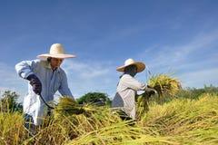 Agricoltore nel campo è tempo di raccolto Fotografia Stock Libera da Diritti