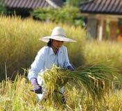 Agricoltore nel campo, è tempo di raccolto Fotografie Stock