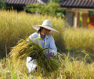 Agricoltore nel campo è tempo di raccolto Immagine Stock