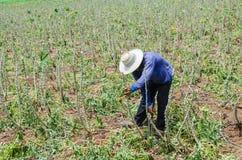 Agricoltore nel campo dell'azienda agricola della manioca Fotografia Stock