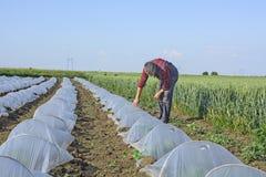 Agricoltore nel campo delle angurie e dei meloni sotto plastica Immagine Stock Libera da Diritti