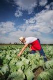 Agricoltore nel campo di cavolo con cielo blu Immagine Stock Libera da Diritti