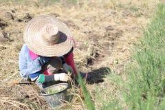 Agricoltore nel campo di tabacco Immagini Stock Libere da Diritti