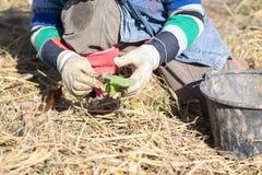 Agricoltore nel campo di tabacco Fotografia Stock Libera da Diritti