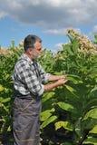 Agricoltore nel campo di tabacco Fotografie Stock Libere da Diritti