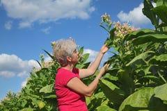 Agricoltore nel campo di tabacco Fotografie Stock
