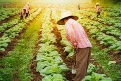 Agricoltore nel campo di tabacco Fotografia Stock