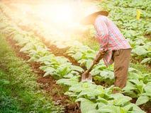 Agricoltore nel campo di tabacco Immagine Stock