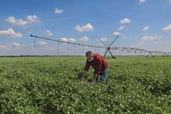 Agricoltore nel giacimento del pisello con il sistema di innaffiatura Immagine Stock