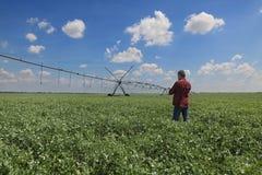 Agricoltore nel giacimento del pisello con il sistema di innaffiatura Fotografia Stock