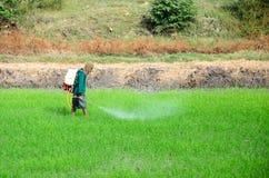 Agricoltore nel giacimento del riso. Fotografia Stock