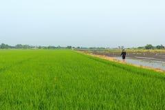 Agricoltore nel giacimento del riso Immagine Stock