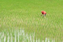 agricoltore nel giacimento del riso nella provincia di pua a Nan Immagini Stock Libere da Diritti