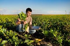 Agricoltore nel giacimento della barbabietola da zucchero Fotografie Stock