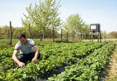 Agricoltore nel giacimento della fragola Fotografia Stock Libera da Diritti