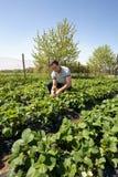 Agricoltore nel giacimento della fragola Fotografia Stock