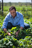 Agricoltore nel giacimento della fragola Immagine Stock Libera da Diritti