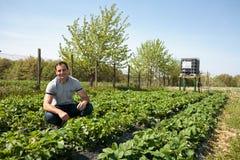 Agricoltore nel giacimento della fragola Immagine Stock