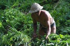 Agricoltore nel terrazzo Paddy Field del riso di Ubud Immagini Stock Libere da Diritti