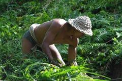 Agricoltore nel terrazzo Paddy Field del riso di Ubud Fotografia Stock