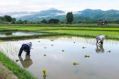 Agricoltore nell'agricoltura del riso del campo Fotografia Stock Libera da Diritti