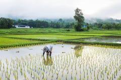 Agricoltore nell'agricoltura del riso del campo Immagini Stock