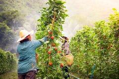 Agricoltore nell'azienda agricola del pomodoro Fotografia Stock Libera da Diritti