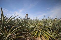 Agricoltore nell'azienda agricola dell'ananas Fotografia Stock