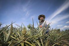 Agricoltore nell'azienda agricola dell'ananas Fotografie Stock