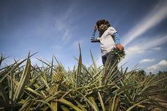 Agricoltore nell'azienda agricola dell'ananas Fotografie Stock Libere da Diritti