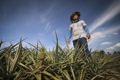 Agricoltore nell'azienda agricola dell'ananas Immagini Stock