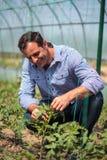 Agricoltore nella serra del pomodoro Immagine Stock