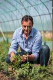 Agricoltore nella serra del pomodoro Immagini Stock