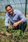 Agricoltore nella serra del pomodoro Fotografia Stock