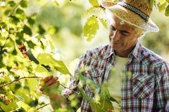 Agricoltore nella vigna Fotografie Stock