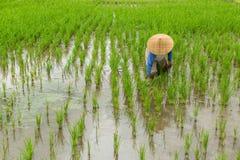 Agricoltore nelle risaie agricolo Fotografia Stock Libera da Diritti