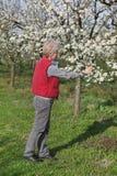 Agricoltore o agronomo nel frutteto sbocciante della prugna Fotografie Stock