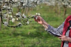 Agricoltore o agronomo nel frutteto sbocciante della prugna Fotografie Stock Libere da Diritti