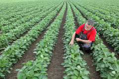 Agricoltore o agronomo nel giacimento della soia Fotografia Stock