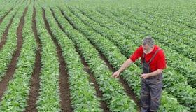 Agricoltore o agronomo nell'indicare del campo del fagiolo della soia Immagini Stock Libere da Diritti