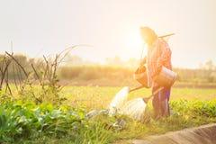 Agricoltore o giardiniere tailandese che innaffia nell'azienda agricola di verdure con acqua Fotografia Stock Libera da Diritti