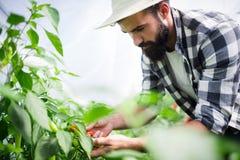 Agricoltore organico che controlla i suoi pomodori in una serra Fotografia Stock