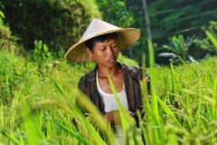 Agricoltore organico che lavora e che raccoglie riso Fotografie Stock
